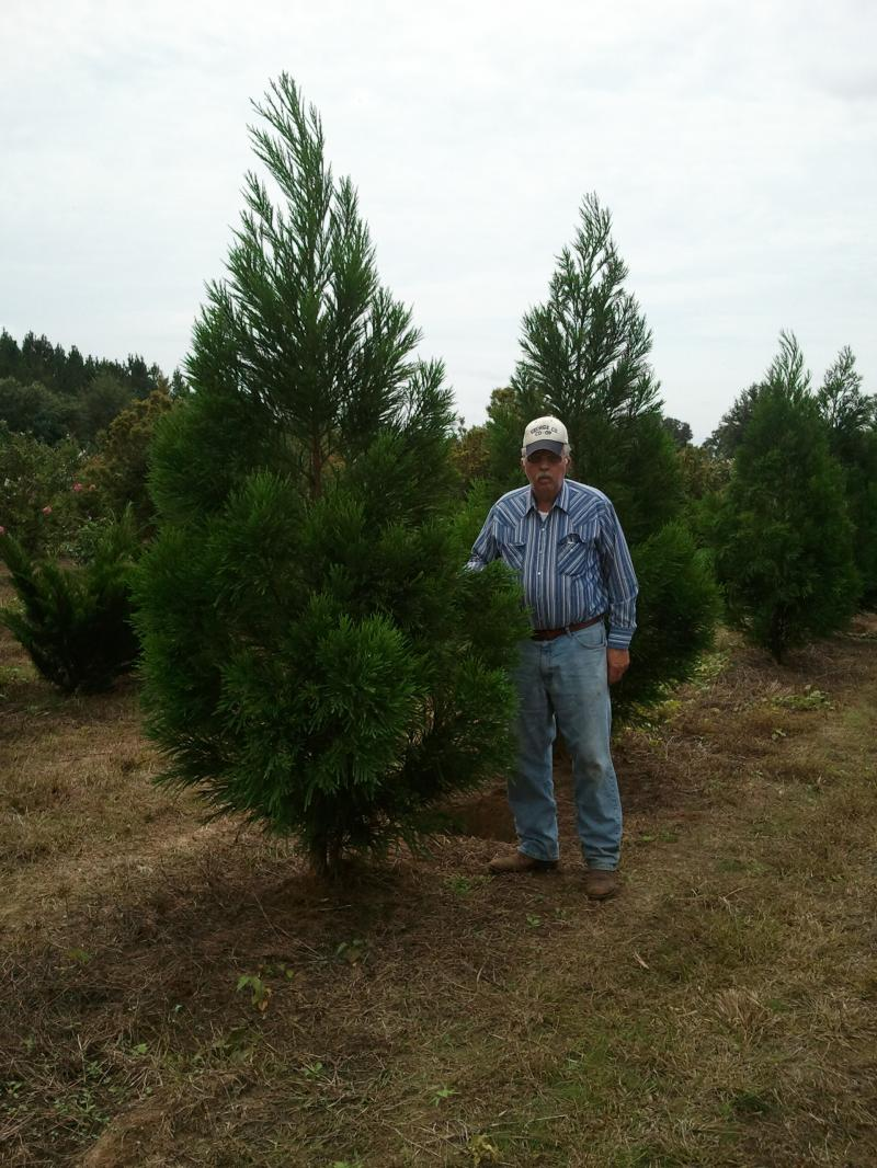 Cryptomeria 8'-10'